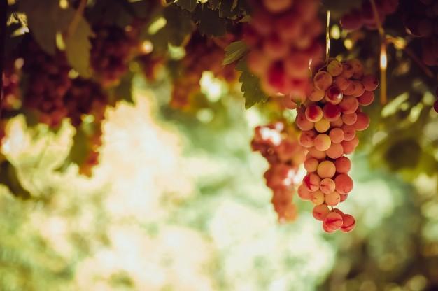Las uvas del Bierzo dan origen a algunos de los mejores vinos tintos de España