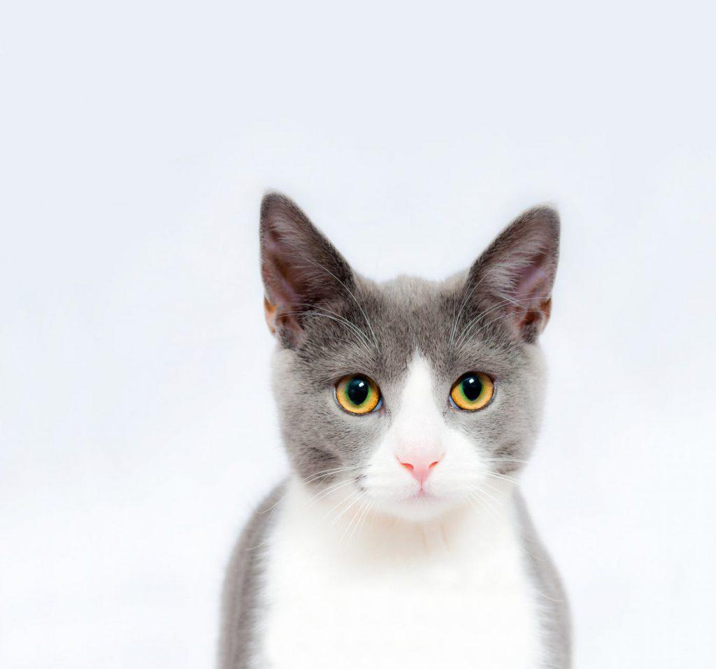 Los gatos pueden percibir hasta 50.000 Hz. mientras que los humanos 20.000 Hz